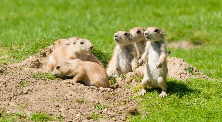 prairie dogs in field