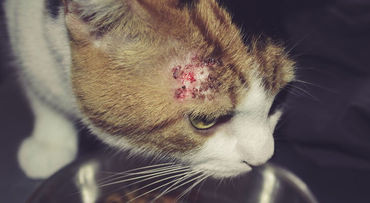 cat with skin infection