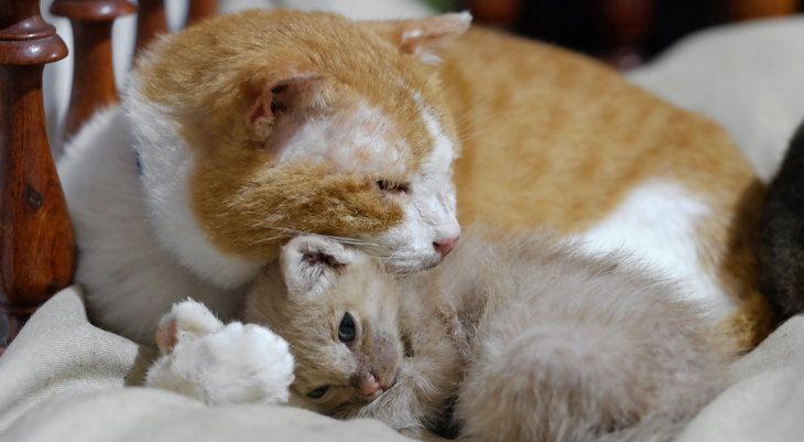 adult cat with kitten