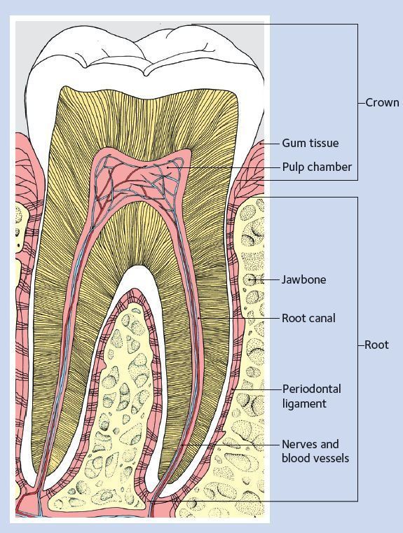 Healthy tooth diagram