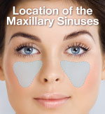 Location of the sinuses.