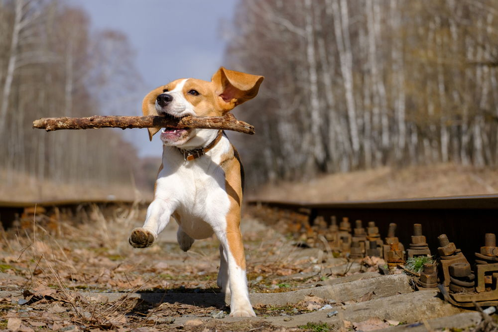 dog carrying stick