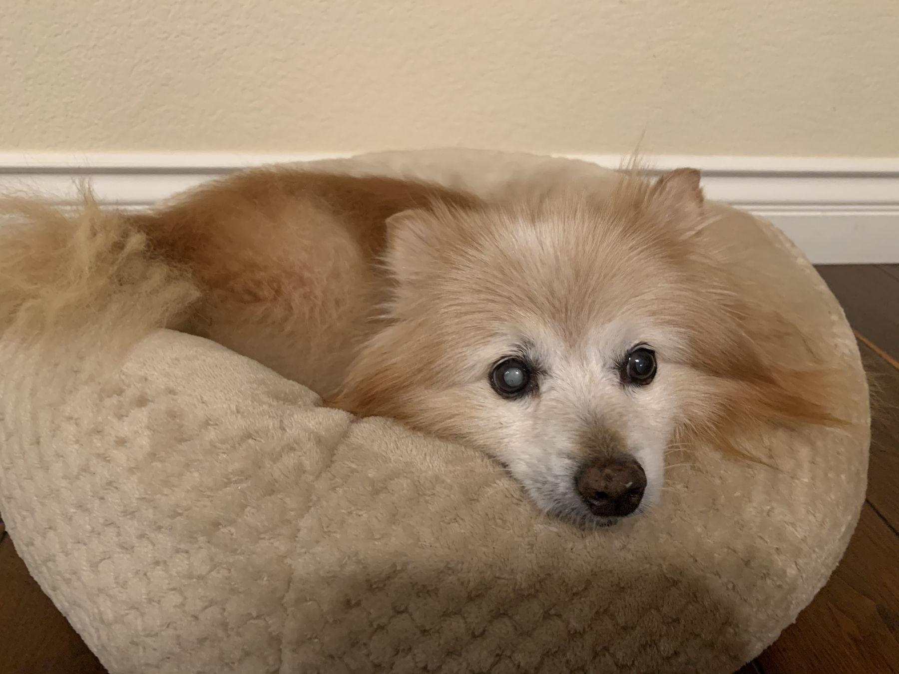 pomeranian, pet memorial, in-home dog euthanasia