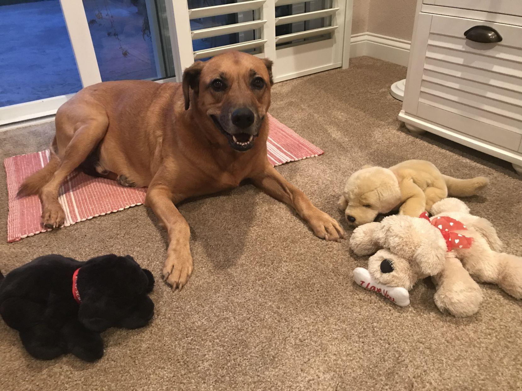 dog, pet memorial, Labrador retriever, Rhodesian Ridgeback