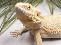 Sam the Bearded Dragon