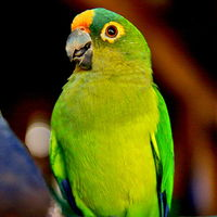 Peach-Front-Conures
