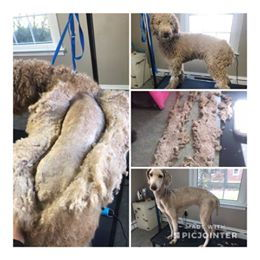 Matted Golden Doodle Before and After Grooming