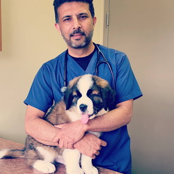 Veterinarian holding St. Bernard Puppy in an exam room.