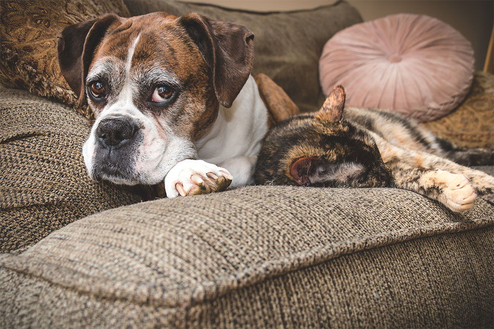 boxer-and-cat