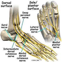 Nerves Foot