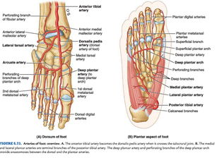 Foot Arteries