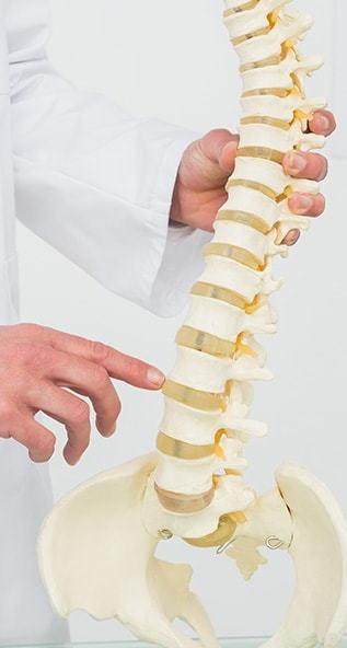 Doctor holding model spine