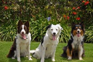 dog_border_collie_the_super_collies_sara_carson_marvel_australian_shepard_good_choices_dog_training