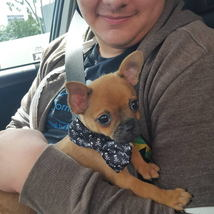 adopted_puppy_chihuahua