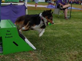 australian_shepard_boxturn_flyball_race
