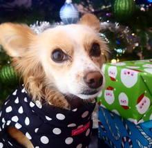 christmas_sweater_chihuahua_shelterdog_presents_holiday_dogtraiing