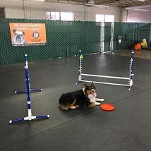 dog_agility_frisbee_australianshepard