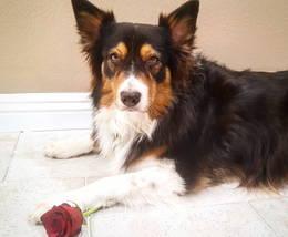 dog_valentine_rose_valentinesday_australian_shepard