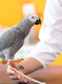 Image of a grey parrot standing on an arm