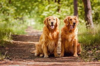 Two Golden Retreivers