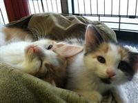 PVH adoption kitties