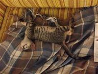 PVH adoption kitty