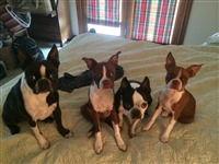 boston terrier crew