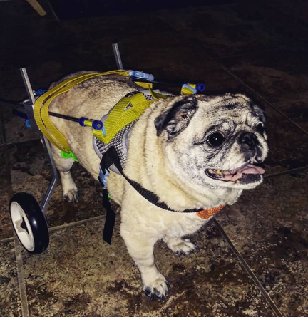pug on wheels