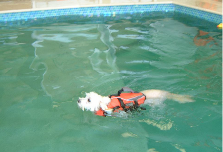 Small dog swimming