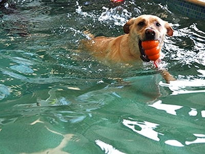 Dog swimming with toy
