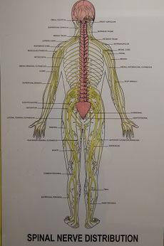 Spinal Nerve Distribution