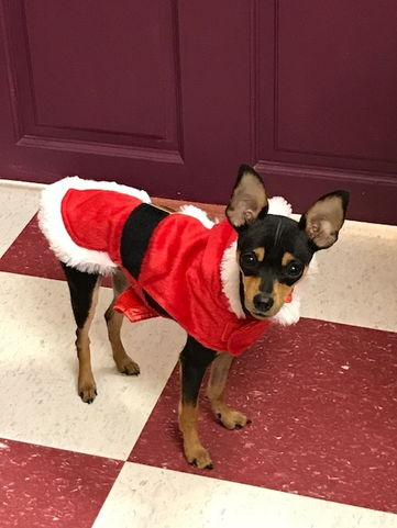 min pin in santa costume