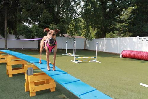 Dog on agility equipment