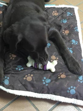 Dog on padded bed with toy