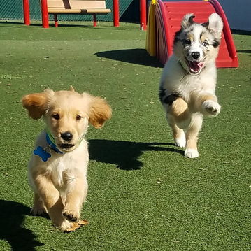 Puppies playing in play yard