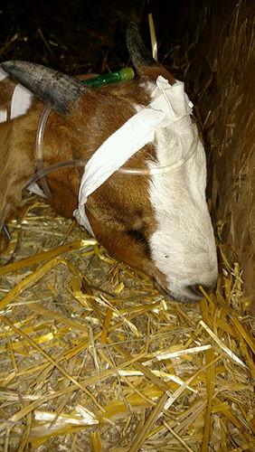 CDAC - Goat