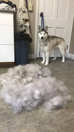 husky deshedding
