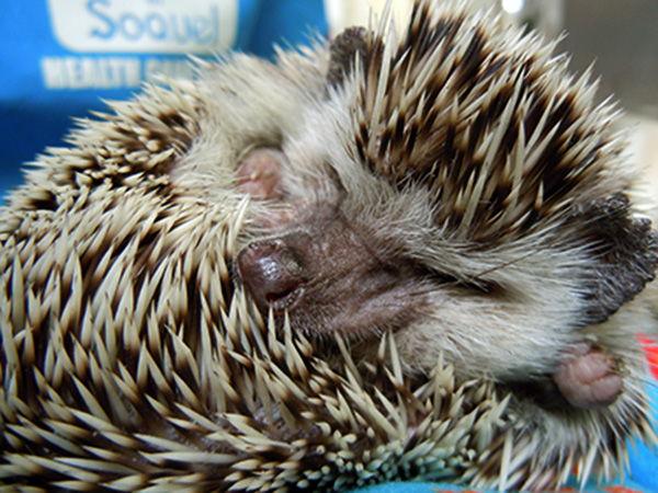 382_Stanley-hedgehog