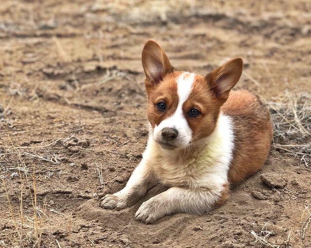Cosmo the corgi puppy