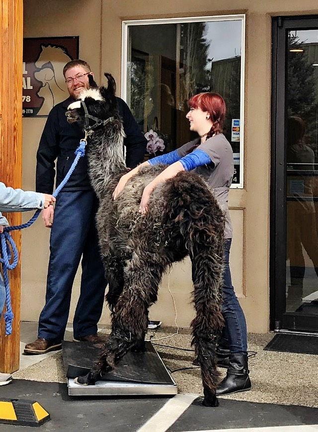 Weighing llamas