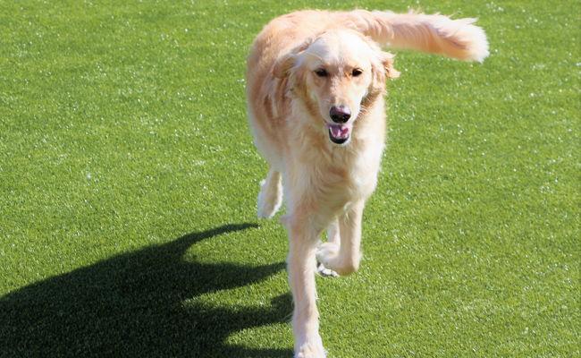Dog running on K9 grass