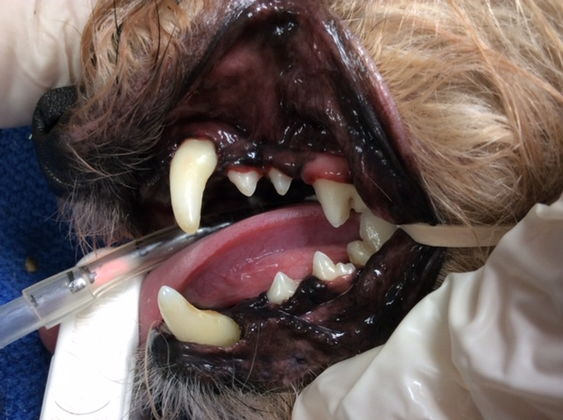 Clean dog teeth left side