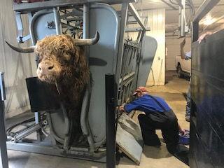 Semen testing a Hylander bull