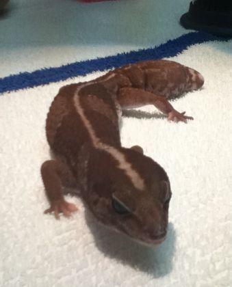 salamandar